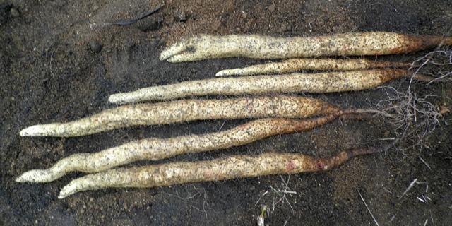 伊予西条の自然薯「愛薯さん」